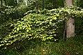 Cornus alternifolia 16zz.jpg