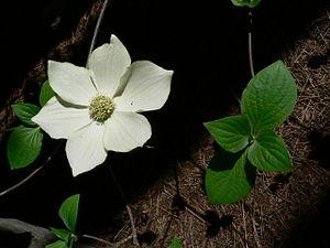 Cornus nuttallii - Image: Cornus nuttallii 08546