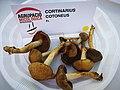 Cortinarius cotoneus a la festa del bolet de Cal Rosal 2018.jpg
