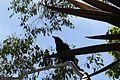 Corvus coronoides (23535363173).jpg