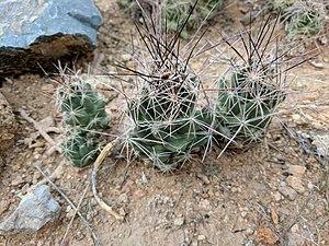 Coryphantha macromeris - Image: Coryphantha macromeris