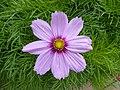 Cosmos bipinnatus Stirling 03.jpg