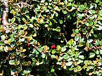 Cotoneaster microphyllus a1.jpg
