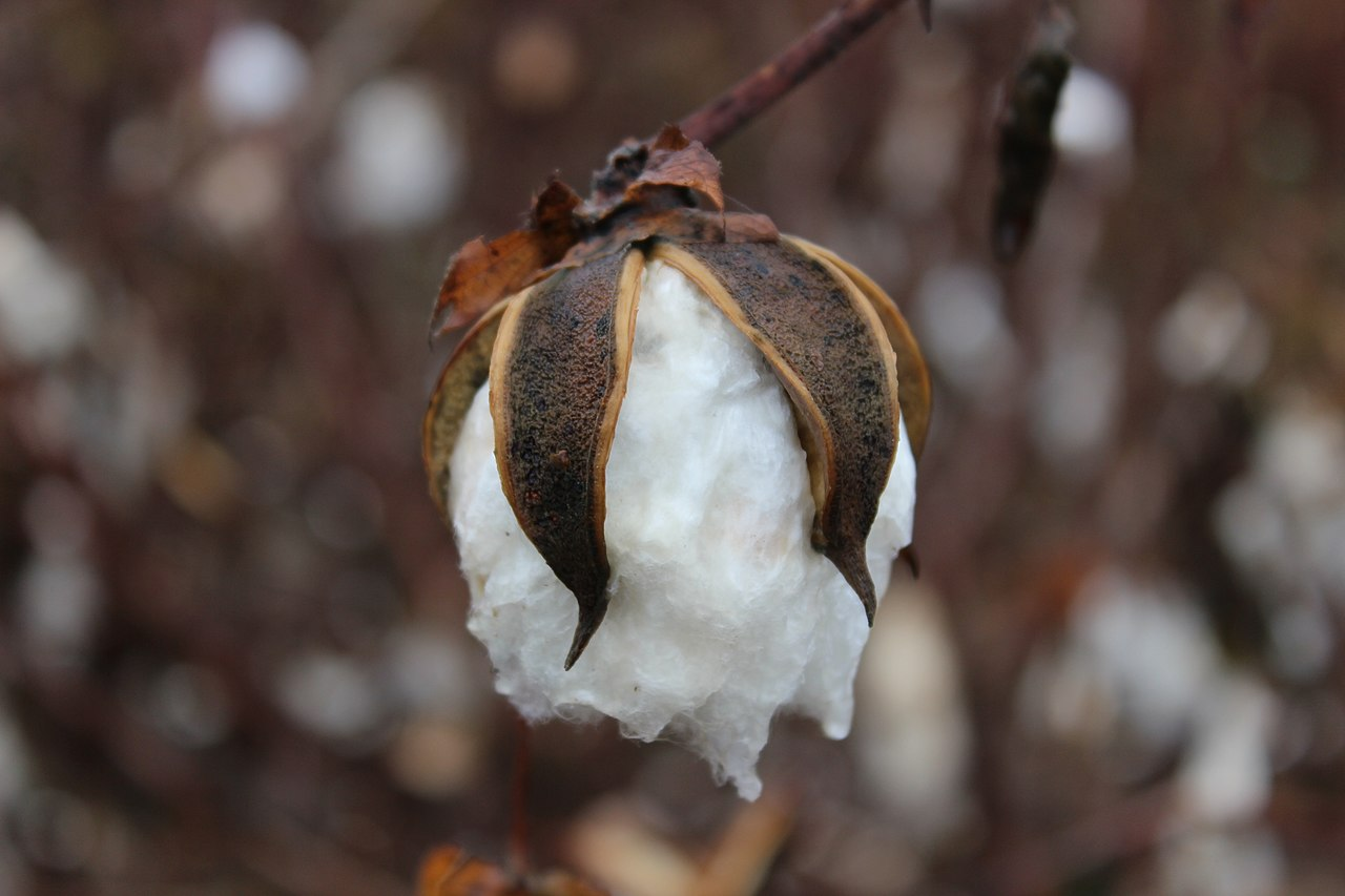 Is Cotton Considered A Natural Resource