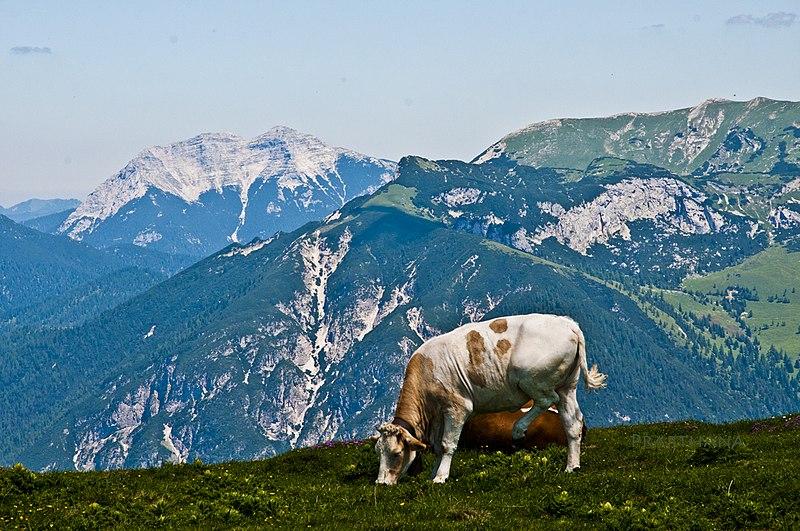 File:Cow at stanserjoche, pertisau (8501).jpg