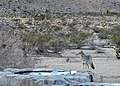 Coyote Morning (11648371263).jpg