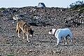 Coyote vs Dog.jpg