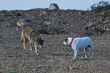 Coyote confronting a dog Coyote vs Dog.jpg