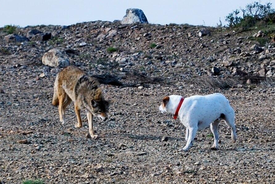 Coyote vs Dog