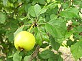 Crab apple (Malus sylvestris) fruit and foliage (3830013351).jpg