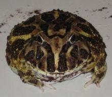 Ceratophrys Wikipedia