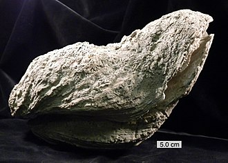 Eocene - Crassostrea gigantissima (Finch, 1824), a giant oyster from the Eocene of Texas