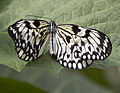 Cream and Black Butterfly (5696426183).jpg