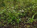 Crinum ¿ pratense - woodrowii ? (9229497588).jpg