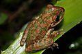 Cuban Tree Frog (Osteopilus septentrionalis) (8575065564).jpg