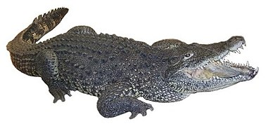 Cuban crocodile white background.jpg