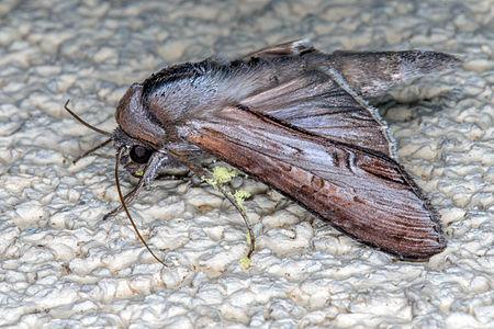 Cucullia asteris, Lodz(Poland)06(js).jpg