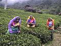 Cueilleuses de thé Nuwara Eliya.JPG