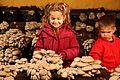 Cultivo de setas de ostra en Pradejón.jpg