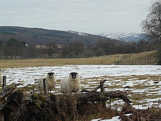 Strathcarron, Highland - Image: Curious sheep, Gruinards, Strathcarron geograph.org.uk 1746948