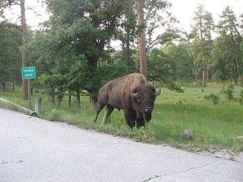 Buffalo inside Custer State Park.