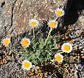 Cutleaf daisy Erigeron compositus ray-flowered.jpg