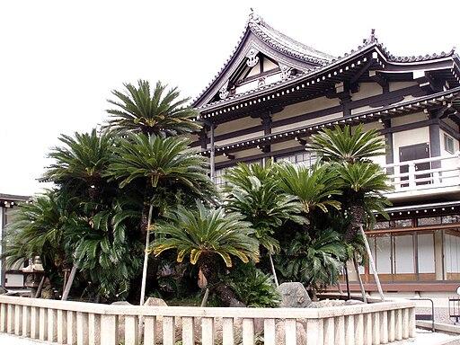 Cycas revoluta at Myokoku-ji, Sakai, Japan