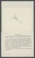 Cyclops dentatus - - Print - Iconographia Zoologica - Special Collections University of Amsterdam - UBAINV0274 100 01 0017.tif