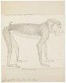 Cynocephalus leucophaeus - 1829-1867 - Print - Iconographia Zoologica - Special Collections University of Amsterdam - UBA01 IZ20100090.tif