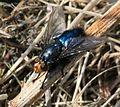 Cynomyia mortuorum - Flickr - S. Rae.jpg