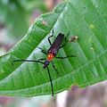 Cyphonotida rostrata, Lepturinae, Cerambycidae - Flickr - gailhampshire.jpg