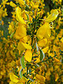 Cytisus scoparius FlowersCloseup2 2009April26 SierraMadrona.jpg