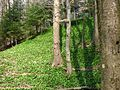Czosnek niedźwiedzi-Allium ursinum 02.jpg