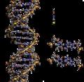 DNA Structure+Key+Labelled-es.png