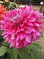 Dahlia - Indian Botanic Garden - Howrah 2012-01-29 1781.JPG