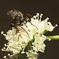 Dance Fly (15025243479).jpg