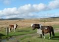 Dartmoor Ponies.png