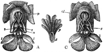 Darwin - The various contrivances by which orchids are fertilized by insects (1877) - Fig 26.png