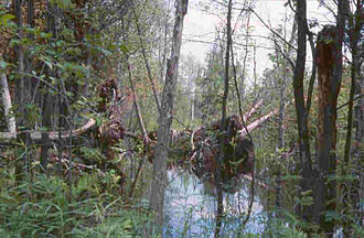 Au Sable State Forest - Dead Stream Swamp a freshwater swamp forest (northern white cedar).