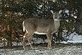 Deer on Drummond Island - 49367956428.jpg