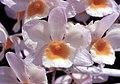 Dendrobium farmeri Orchi 001.jpg