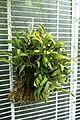 Dendrobium taylorii (Cadetia taylorii) - Lyman Plant House, Smith College - DSC02002.jpg