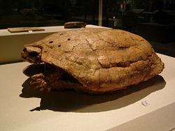 Les Mayas ont bousculé la génétique des tortues