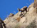 Desert Bighorn (Ovis candensis nelsoni) Runs Downhill (16394662210).jpg