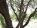 Detalles de un mezquite en Aguascalientes 01.jpg