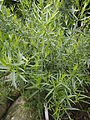 Deutscher Estragon Artemisia dracunculus 01.jpg