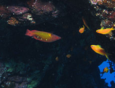 Diana's hogfish upsidedown in a cave.jpg