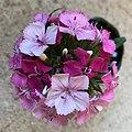 Dianthus barbatus showing flower fading.jpg
