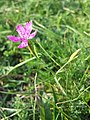 Dianthus deltoides sl27.jpg