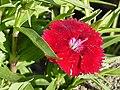 Dianthus red01.jpg